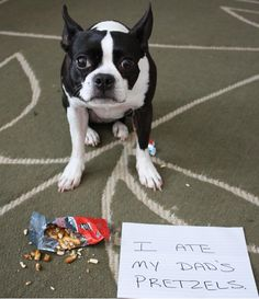 Pretzel shame / Boston Terrier /