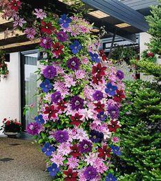 """[ad name=""""content""""] «Из цветов я выращиваю в своем саду только клематисы и розы»,— говорит почвовед-эколог Павел ТРАННУА, который любит эти цветы за мощь и силу, а главное за то, […]"""
