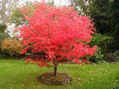 Acer palmatum 'Osakazuki Akame'  variable height and spread. Description from pinterest.com. I searched for this on bing.com/images