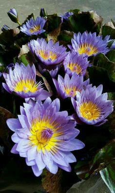 🔔 Bells on Ashley 🔔 Water Flowers, All Flowers, Exotic Flowers, Water Lilies, Tropical Flowers, Purple Flowers, Beautiful Flowers, Lotus Flower Art, My Flower