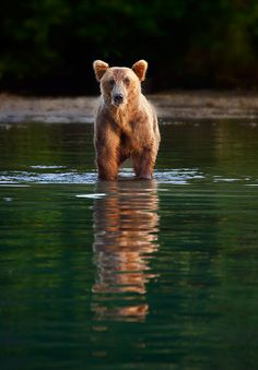 Last Bear Standing by Ian Plant / 500px Outdoor Photography, Wildlife Photography, Animal Photography, Animals Images, Cute Animals, Wild Animals, Beautiful Creatures, Animals Beautiful, Bear Claw Tattoo