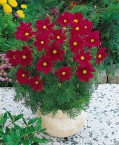 COSMOS DWARF RED - 500 Seeds - Nectar for Bees And Butterflies & Seeds for birds