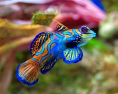 Free Mandarin Fish Wallpaper for your Desktop, iPad, Galaxy & iPhone. We have the best Fish & Aquatic Wallpapers. Colorful Animals, Colorful Fish, Tropical Fish, Salt Water Fish, Salt And Water, Fresh Water, Poisson Mandarin, Beautiful Creatures, Animals Beautiful