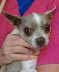 13-0598 Sid is an adoptable Chihuahua Dog in Bensalem, PA. Description I am a almost 6 year year old gray and white neutered Chihuahua who is reported to be good with children.  Since I am already neu...