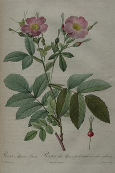 Mountain Rose, Alpine Rose - Rosa pendulina (as Rosa alpina) - Mountain Rose is a European wild rose, I have seen this image identified as Rosa blanda, a native of North America - both are nearly thornless - circa 1824