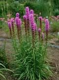Liatrus Spicatus. Gay feather. Tall spikes of bright magenta-purple flowers beginning in midsummer. Drought tolerant. Clumps may be easily divided every 3 to 4 years in the spring. Plants may need to be staked. full sun, medium moist soil