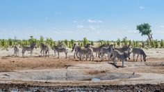 Zebra crossing or crossing zebra? Zebra Crossing, Luxury Accommodation, Day Tours, Safari, Journey, African, Cats, Places, Travel