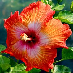 Exotic Hibiscus 'Mandarin Sunset'
