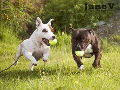 Herlige staffer - DoggieBag.no #DoggieBag #Hund #StaffordshireBullTerrier