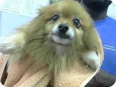Atlanta, GA - Pomeranian. Meet PATRICK, a dog for adoption. http://www.adoptapet.com/pet/12515829-atlanta-georgia-pomeranian