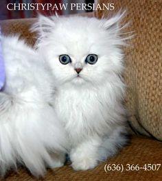 Spoiled rotten Persian kittens for sale