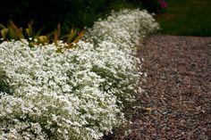 Silverarv, Cerastium tomentosum, är en mycket snabbväxande perenn, som bildar tjocka mattor av silvergå blad. På försommaren blommar den rikligt med söta vita blommor, och den passar både i den rom…