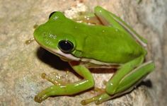 1000+ images about North Carolina Native Plants and ... Poisonous Green Frogs Of North Carolina