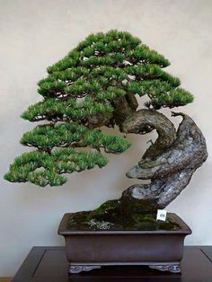 Awesome Bonsai design, trunk flows onwards into the apex and lower branches... #nature #tree #garden #bonsai #bonsaitree