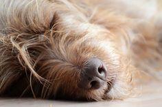 Припадъци, гърчове и епилепсия при кучето (2 част)