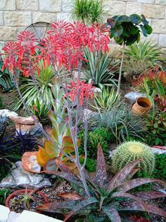 Kalanchoe daigremontiana, cactus, palmiers et plantes succulentes dans le jardin méditerranéen