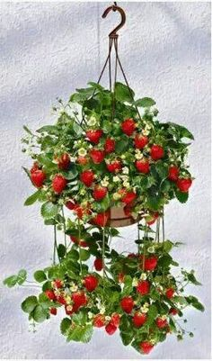Fruitridge Gardens and Tupil Company will have these soon! I plant strawberry garden in planter every year. Strawberry Garden, Fruit Garden, Edible Garden, Herb Garden, Vegetable Garden, Garden Plants, Indoor Plants, House Plants, Hanging Baskets