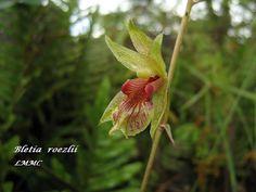 Bletia roezlii - Flickr - Photo Sharing!