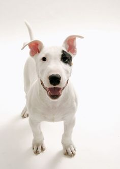 Seriously, I don't know what it, I just love Bull Terriers