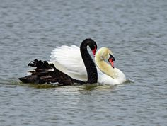 At first I thought the black swan was flirting but I think he was pushing the white swan away from his nest which was right on shore where they were swimming.