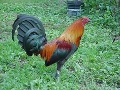 Brown Red Game Fowl