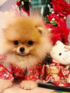 Pomeranian & Hello kitty