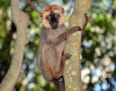 Lemur in Berenty park. J. Gajowniczek photo. From Spirifer Minerals