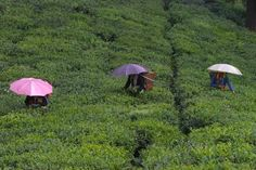 In Darjeeling this season, pluckers bring out their umbrellas to protect themselves from the sun, not the rain.