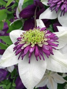 Purple Plum and White Clematis