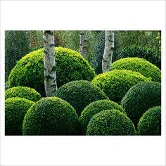 Boxwood balls, topiary