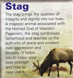Stag spiritual guide Love this one ♡ so powerful and so regal as well as elegant and strong ♡ Spirit Animal Totem, Animal Spirit Guides, Your Spirit Animal, Animal Meanings, Animal Symbolism, Power Animal, Animal Magic, Reiki, Witches