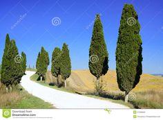 Cypressi