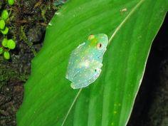 Rana de cristal (Centrolenidae) ~ Naturaleza Insólita