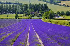 Lavender Farm, Provence, France photo by Lavender Fields France, Oh The Places You'll Go, Places To Travel, France Photos, Provence France, All Nature, Exotic Flowers, Paris, Scenery