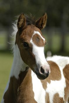 Oh qu'elle beau cheval Ho la la All About Animals, Animals And Pets, Baby Animals, Cute Animals, Most Beautiful Horses, Pretty Horses, Horse Love, Horse Wallpaper, American Quarter Horse