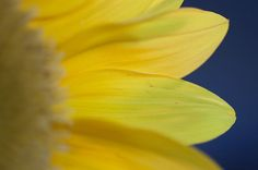 'Sun and Moon' by Christi Kraft | The vibrant yellow petals of a sunny sunflower stand in stark contrast to a royal blue background