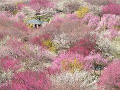 撮影場所 Inabe, Mie, Japanで3月に撮影された写真 Plum-grove park in Inabe City(Mie, Japan) : パシャデリック