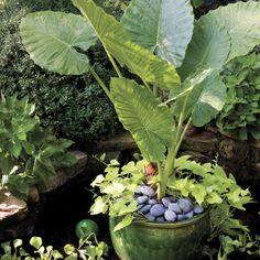 elephants ear and sweet potato vine