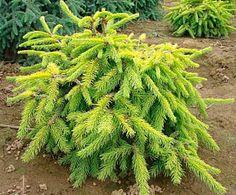 Picea abies 'Aurea Jacobsen'