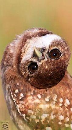 Creepy Owl Voodoo - Burrowing Owlet with dark eyes in Florida #by Megan Lorenz #wildness animal nature