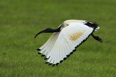 Heilige Ibis (Van vroegevogels)