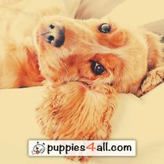 Learn more about your awesome buddy now! http://puppies4all.com/ #dog #cute #puppy