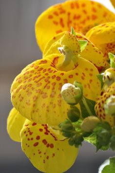 Calceolaria ( Pocketbook Plant )