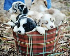 The Aussie Weekly #85 — The Weekly Special Feature for Australian Shepherd Lovers — Owner: Pamela Lane, Photo: Janis Young, Aussie: Barrel of Puppies