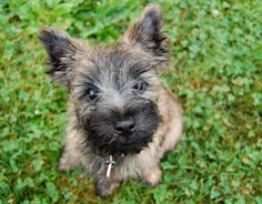 Cairn terrier puppy.  Oh, hello!  :)