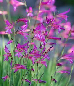 Gladiolus italicus, hardier than Gladiolus callianthus, 70cm, flowers in late spring or early summer.
