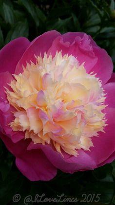 Peony 'Bowl of Beauty' ~~ Peônia, a rainha das flores. ~~ Significado das peonías O significado das flores deste belo arbusto é a sinceridade. Por isso, se deseja expressar sentimentos reais, esta é uma boa opção.a peônia como a flor nacional chinesa, tendo outras quatro flores representantes das estações: a ameixeira representando o Inverno, a orquídea representando a Primavera, a lótus, o Verão e o crisântemo, o Outono.