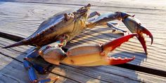 A blue crab scuttles along a pier in Mayo, Maryland. Photo by Damon Fodge