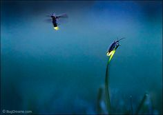 16 best Fireflies images on Pinterest   Fireflies  Glow worms and     Firefly      Rick Lieder