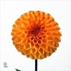 Dahlias Souvenir D'Ete are a beautiful orange cut flower. 50cm tall and wholesaled in 20 stem wraps.